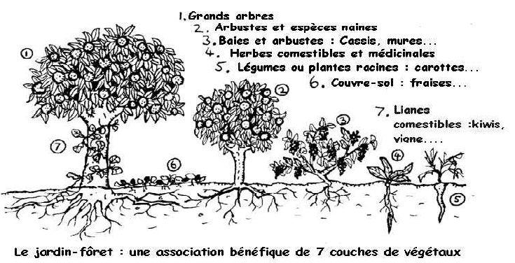 C-1) Forêt-jardin permacole dans 0) ETHIQUE ET PROGRES OSI_SchemaJardinForet