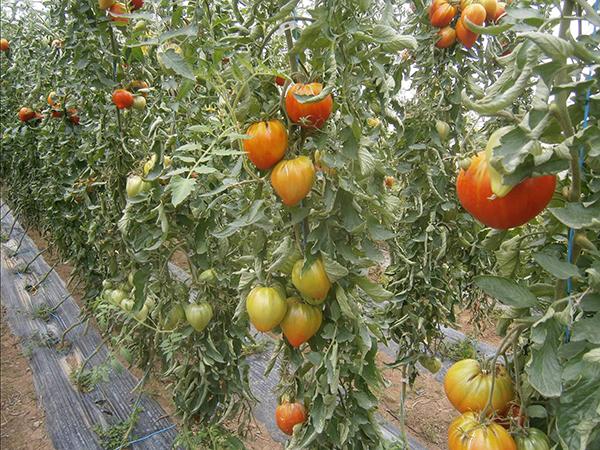 Fertilisants biologiques sont ils int ressants pour l - Planter des tomates coeur de boeuf ...