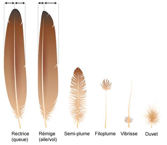 Les oiseaux a d plume perception - Signification des plumes d oiseaux ...