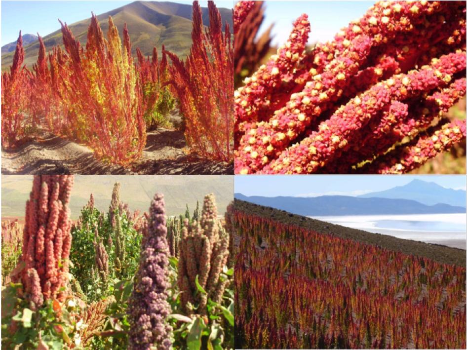 La quinoa la graine star de l 39 alimentation bio un for Plante quinoa